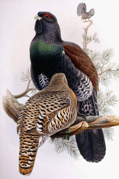 Wall Art - Painting - Wood Grouse by Joseph Wolf and Henry Constantine Richter