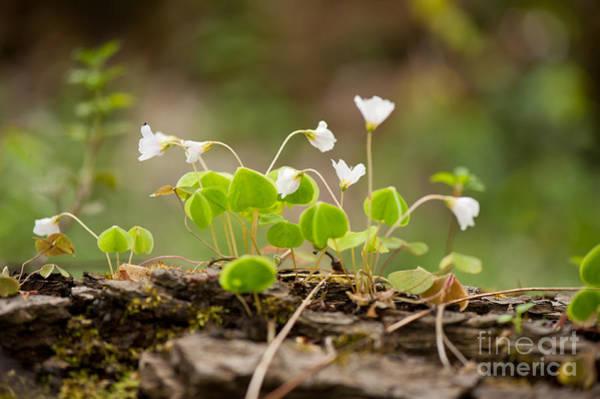 Wall Art - Photograph - Wood Sorrel Flowering Plant Macro by Arletta Cwalina