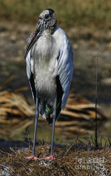 Photograph - Wood Stork 2016 by Deborah Benoit