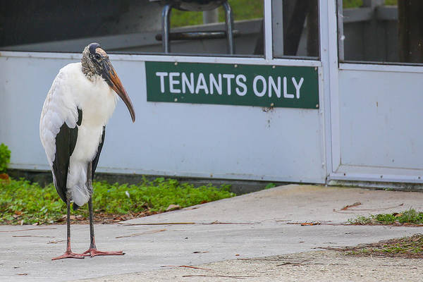Photograph - Wood Stork  by Dart and Suze Humeston