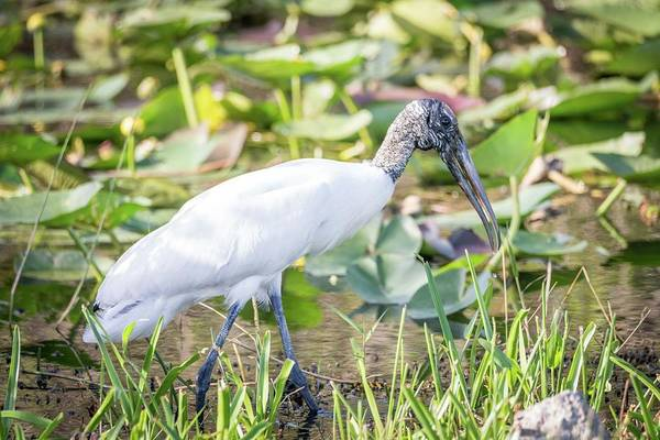 Photograph - Wood Stork Fishing by Framing Places