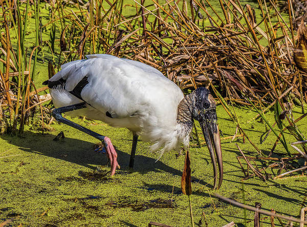 Photograph - Wood Stork In Duck Weed by Richard Goldman