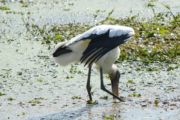 Photograph - Wood Stork  by Joseph Caban