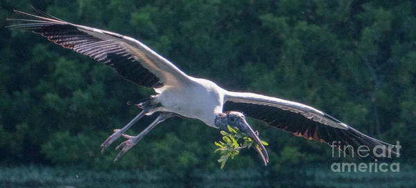 Photograph - Wood Stork With Twigs by Vincent Billotto