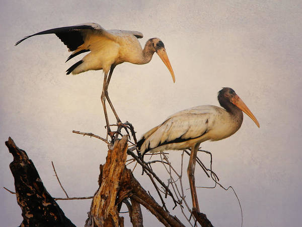 Photograph - Wood Storks by Charles McKelroy