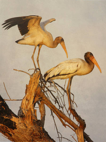 Photograph - Wood Storks In A Tree by Charles McKelroy