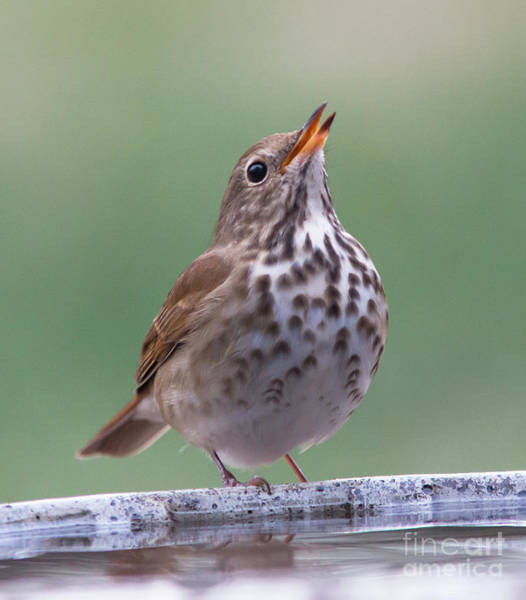 Photograph - Wood Thrush by Kevin McCarthy