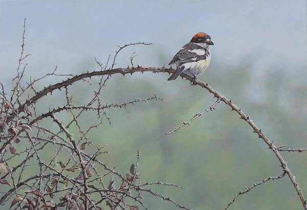 Painting - Woodchat Shrike by Alan M Hunt