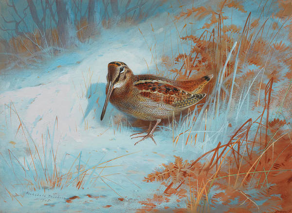 Wall Art - Painting - A Woodcock In The Snow by Archibald Thorburn