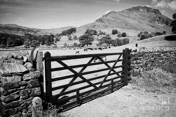 Grasmere Wall Art - Photograph - Wooden Gate In Dry Stone Wall With Cows In Fields And Hills Near Grasmere With Helm Crag On The Righ by Joe Fox