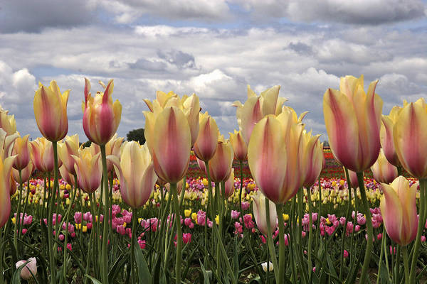 Photograph - Wooden Shoe Tulip Fest by Wes and Dotty Weber