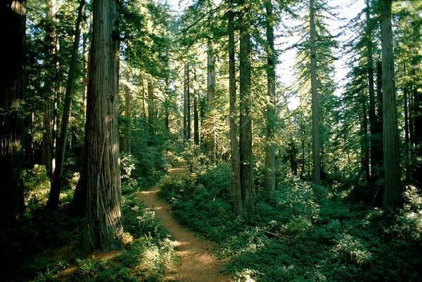 Sequoia Grove Photograph - Woodland Path Winding Through A Grove by James P. Blair