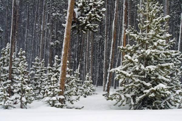 Woodland Snowstorm In Yellowstone Art Print