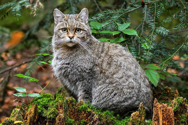 Photograph - Woodland Wild Cat by Arterra Picture Library