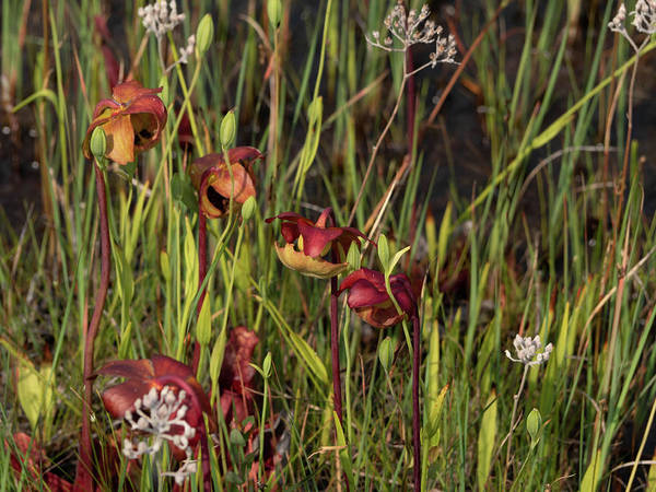 Photograph - Woodlands Nj-webb-mills-bog by Louis Dallara
