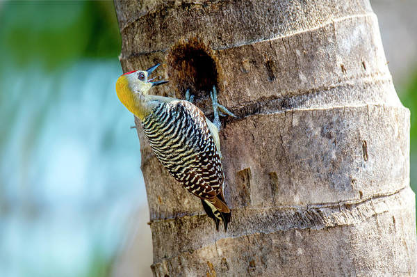 Photograph - Woodpecker At The Nest by Judi Dressler