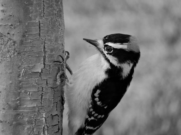 Arapahoe County Wall Art - Photograph - Woodpecker B W by Connor Beekman