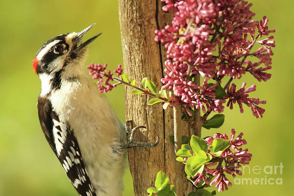 Wall Art - Photograph - Woodpecker Calling Among Flowers by Max Allen