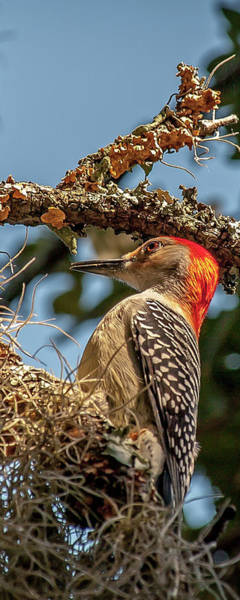 Photograph - Woodpecker Closeup by Mike Covington