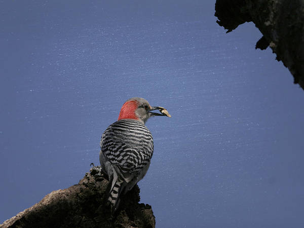 Photograph - Woodpecker Food by Charles McKelroy
