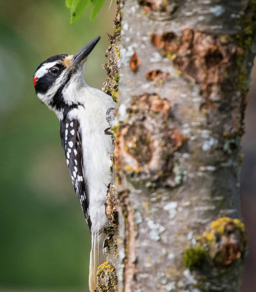 Photograph - Woodpecker by Gloria Anderson