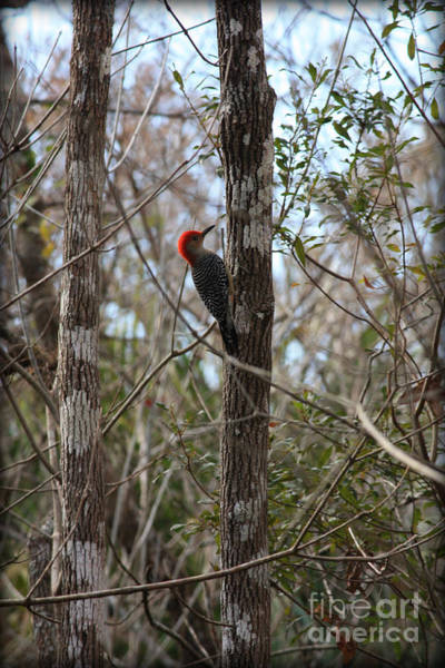 Red Bellied Woodpecker Photograph - Woodpecker In The Swamp by Carol Groenen