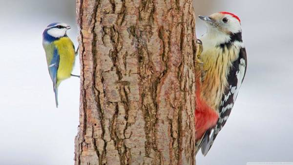 Nature Digital Art - Woodpecker by Maye Loeser