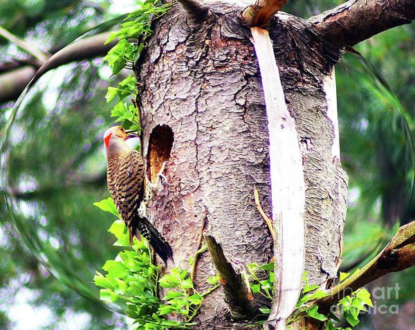 Northern Flicker Photograph - Woodpecker Parenting by Patti Whitten