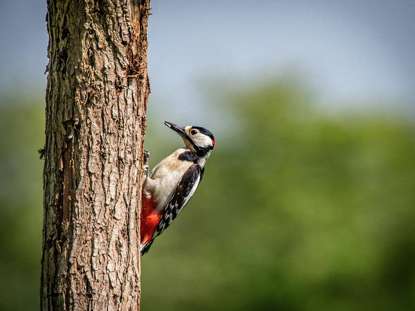 Photograph - Woodpecker Pecking Wood by Framing Places