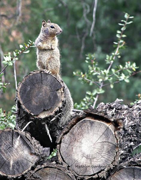 Woodpile Squirrel Art Print