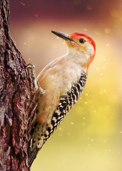 Red Bellied Woodpecker Photograph - Woody In Morning Light by Bill Tiepelman