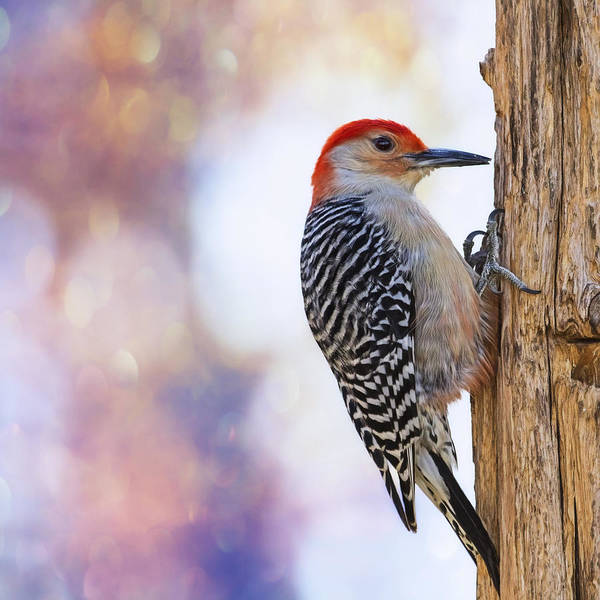 Red Bellied Woodpecker Photograph - Woody On Pink Bokeh by Bill Tiepelman