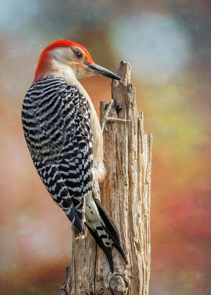 Red Bellied Woodpecker Photograph - Woody Side Profile Post by Bill Tiepelman