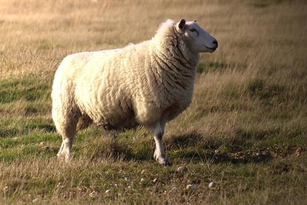 Sheep Photograph - Woolly Coat by Sharon Lisa Clarke