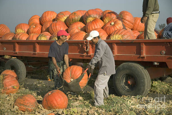 Mac Photograph - Workers Harvest Pumpkins by Inga Spence