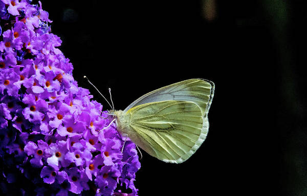 Photograph - Working Butterfly  by Cliff Norton