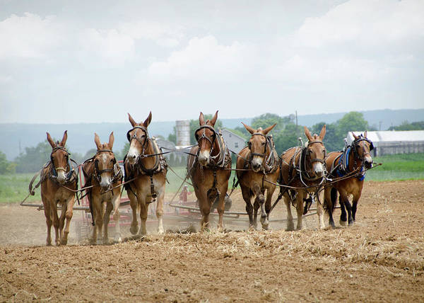 Plow Horses Photograph - Working The Farm by Eleanor Bortnick