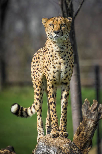 Photograph - World's Fastest Land Animal by Ron Pate