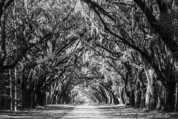 Photograph - Wormsloe Plantation Oaks Bw by Joan Carroll