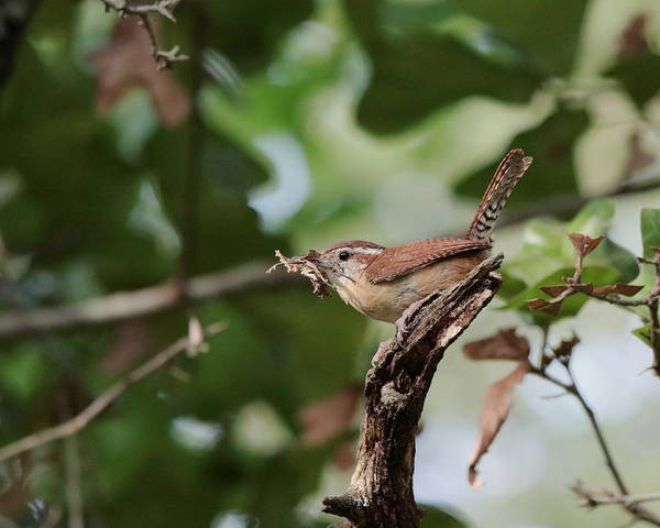 Photograph - Wren by John Moyer