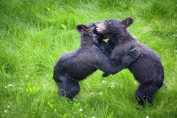 Photograph - Wrestling Cubs by Tim Newton