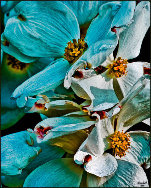 Photograph - Wrinkly Petals by Chris Lord