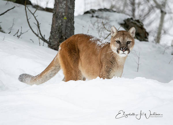 Lion In Winter Photograph - Wyoming Wild Cat by Elizabeth Waitinas