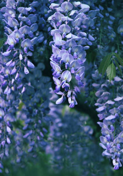 Wall Art - Photograph - Twilight Wisteria  by Jessica Jenney
