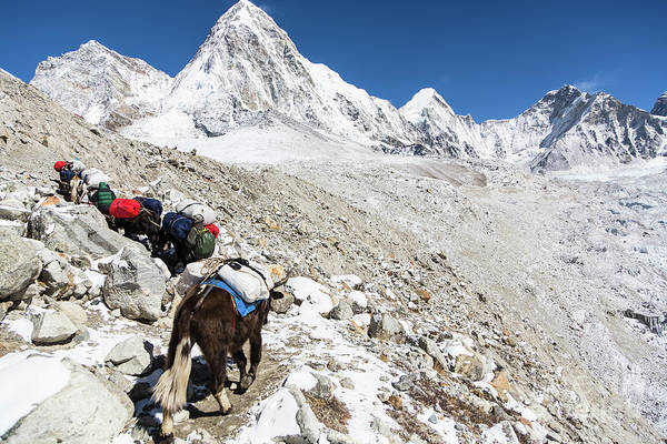 Photograph - Yaks Carrying Material To The Everest Base Camp by Didier Marti