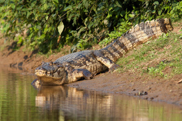 Alligator Crawling Into Yakuma River Art Print