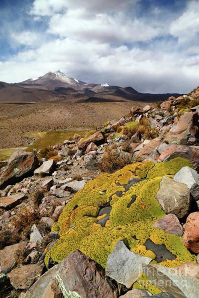 Photograph - Yareta Plants And Guallatiri Volcano Chile by James Brunker