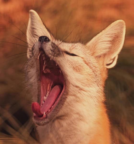 Photograph - Yawn  by Brian Cross