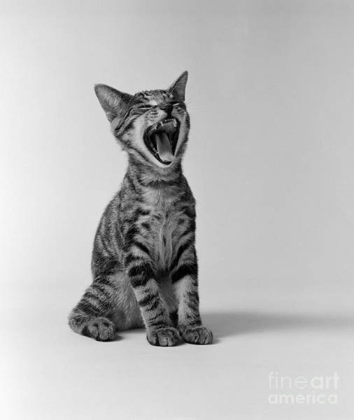 Photograph - Yawning Kitten, C.1960s by H Armstrong Roberts and ClassicStock