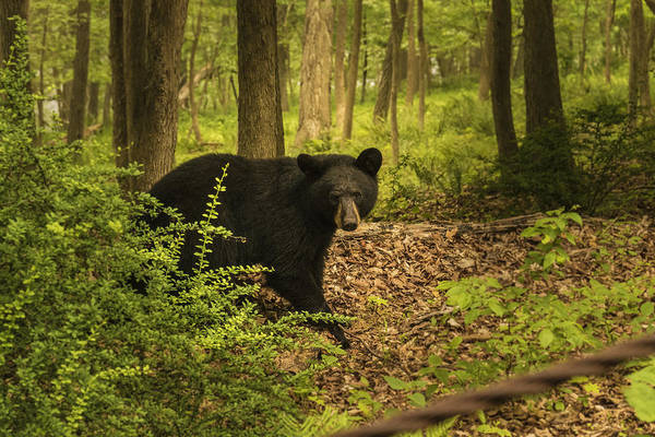 Photograph - Yearling Black Bear by Jorge Perez - BlueBeardImagery
